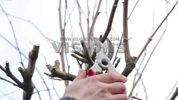 VIDEO Pruning Platanus