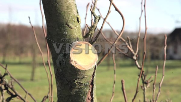 VIDEO Pruning pear tree