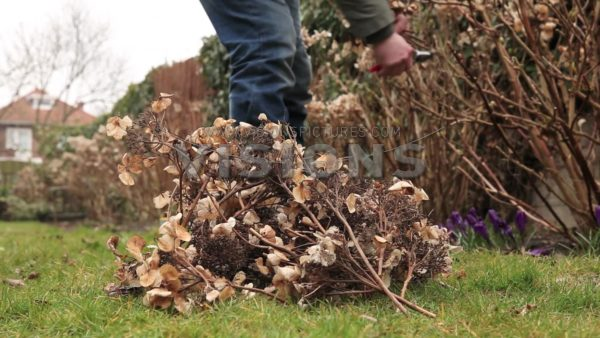 VIDEO Pruning hydrangea