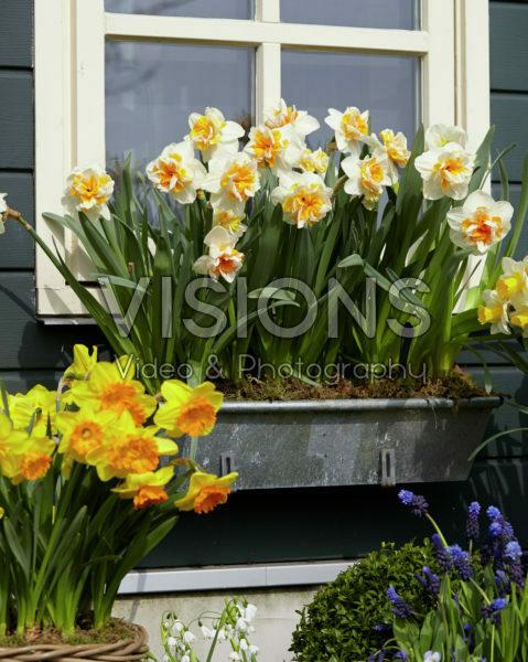 Narcissus Peach Swirl