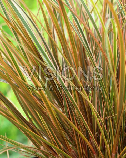 Uncinia rubra Everflame