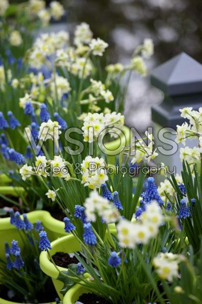 Narcissus Minnow, Muscari