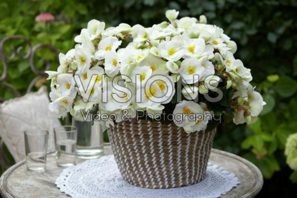 Begonia Sunny White ®