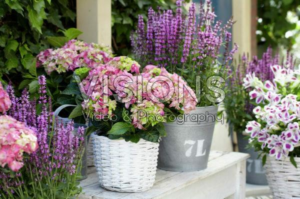 Hydrangea, Salvia