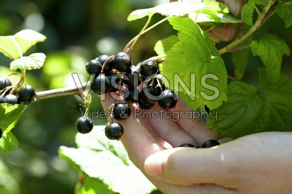 Picking black beries