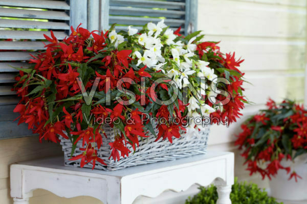 Begonia Beauvilia® red, white