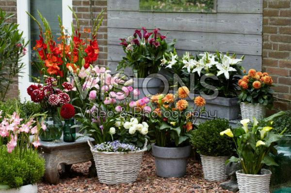 Flowering summer bulbs