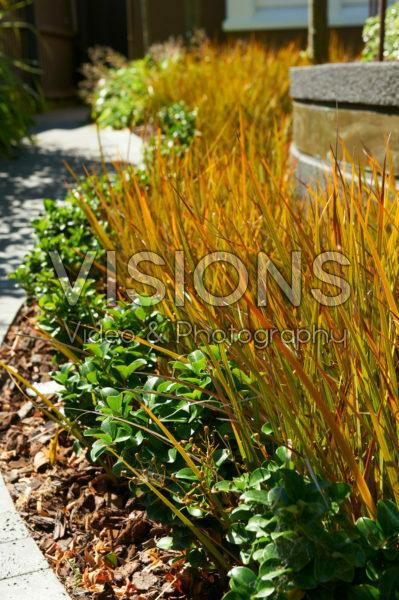 Carex testacea Prairie Fire