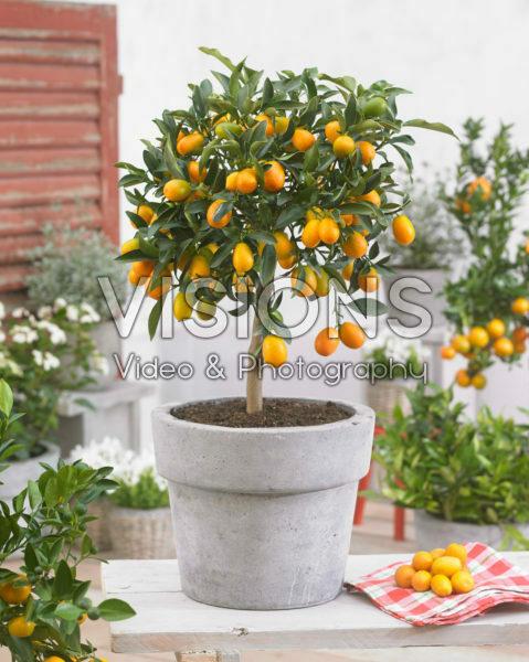 Fortunella japonica