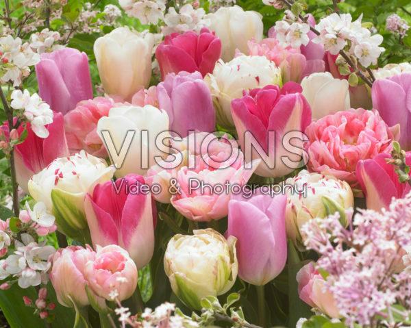 Tulipa mix in roze en wit