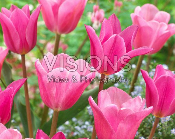 Tulipa Jazz, Tulipa Mistress