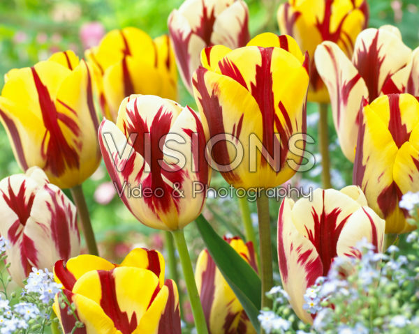 Tulipa Grand Perfection, Helmar