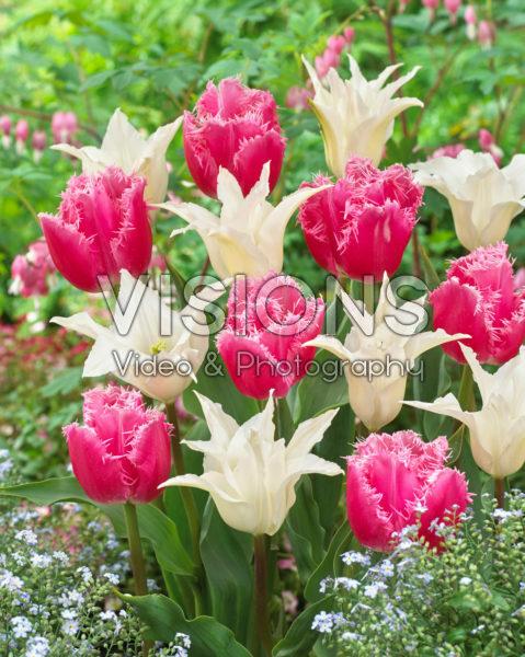Tulipa Tres Chic, Cacharel