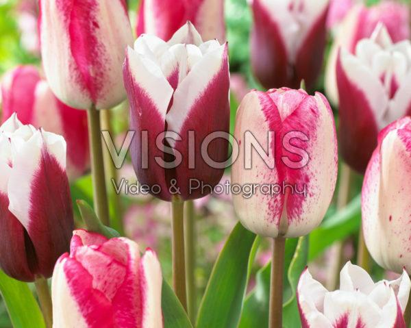 Tulipa Playgirl, Spitsbergen