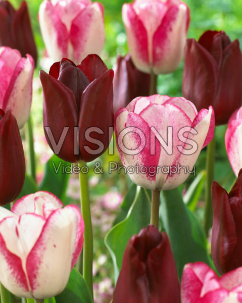 Tulipa National Velvet, Playgirl