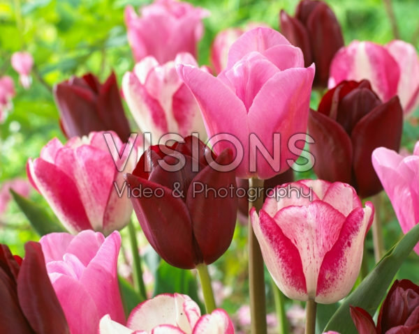 Tulipa mix in roze en rood