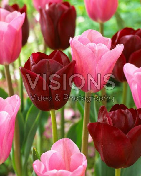 Tulipa Mistress, National Velvet