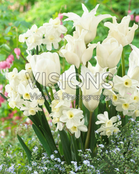 Tulipa en Narcissus mix  Tulipa White Dream