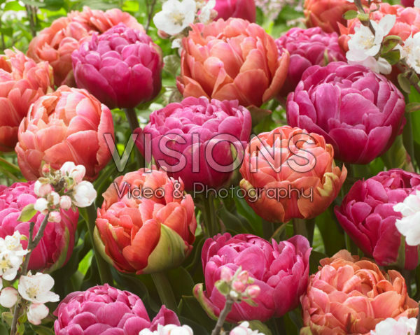 Tulipa Amazing Grace, Copper Image