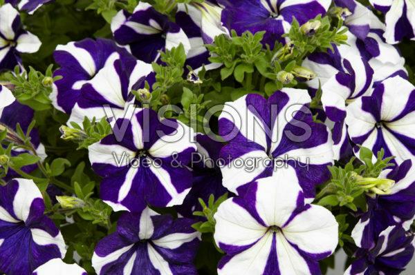 Petunia Designer Blue Star