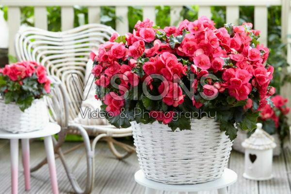 Begonia Evi Bright Pink