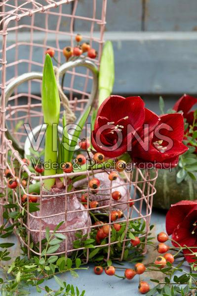 Wax amaryllis bulb
