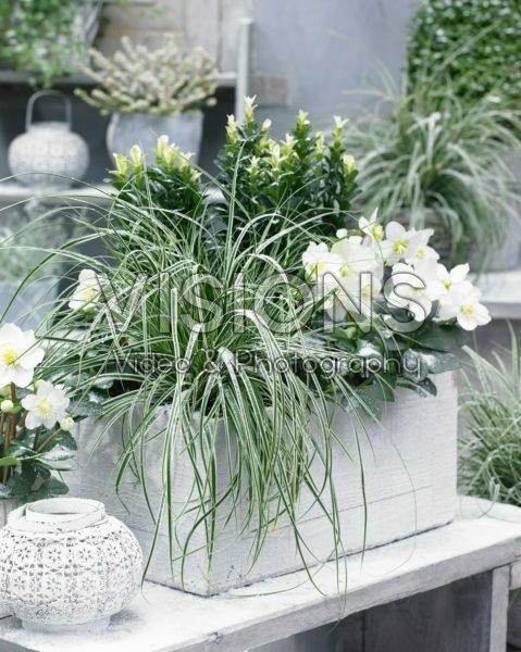 Carex EverColor® Everest