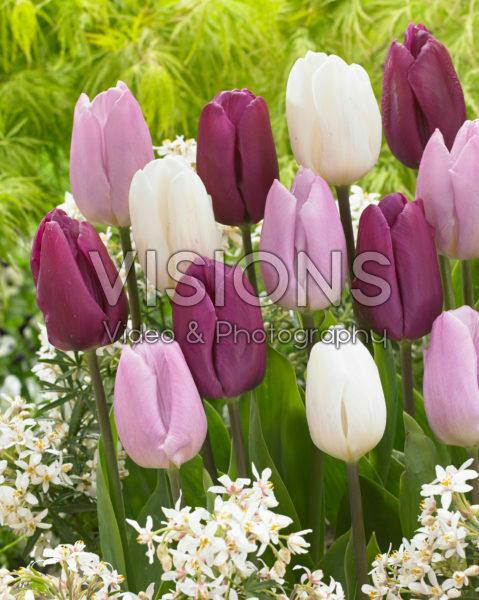 Tulipa Prince mix