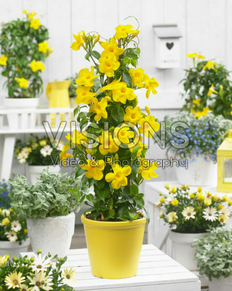 Mandevilla Bloom Bells® Yellow