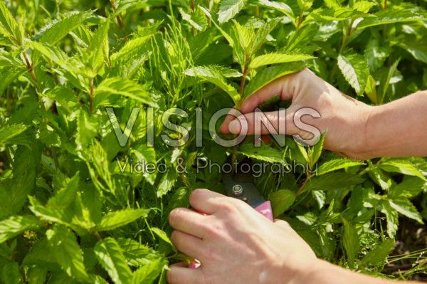 Harvesting mint