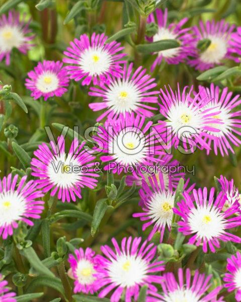 Delosperma floribundum Starburst