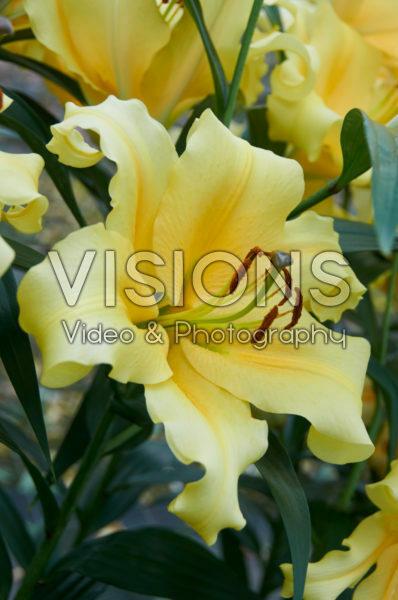 Lilium Zirconia
