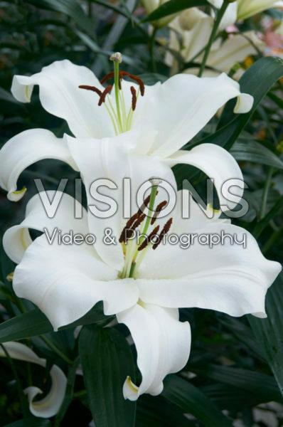 Lilium Monte Bianco