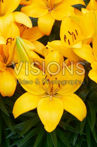 Lilium Tarsia