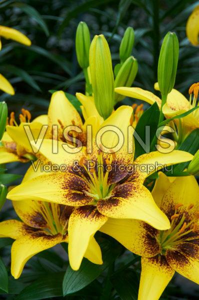 Lilium Yellow Pixels