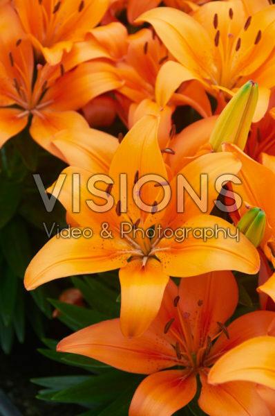 Lilium Orange Matrix
