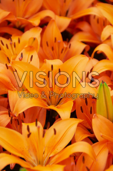 Lilium Orange Matrix