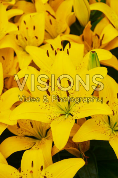 Lilium Golden Matrix