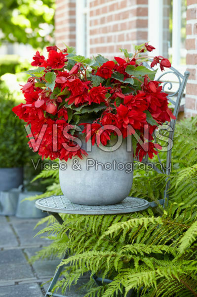 Begonia Illumination® Red