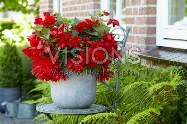 Begonia Illumination® Red