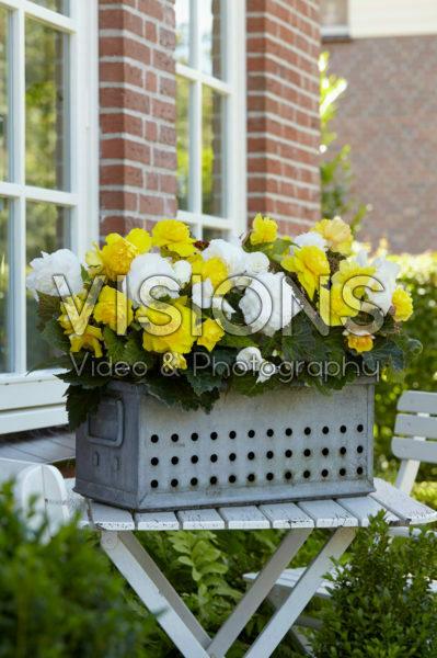 Begonia Non Stop geel en wit