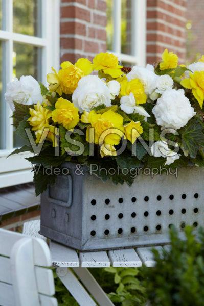 Begonia Non Stop yellow and white