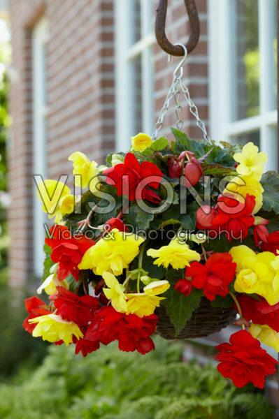 Begonia Cascade® orange and yellow