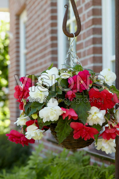 Begonia Cascade® rose and white