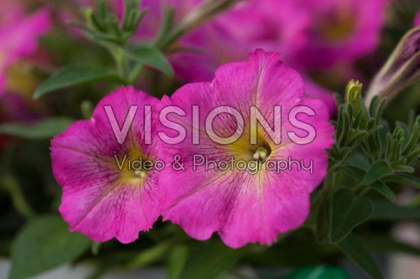 Petunia Viva ® Tropical Pink