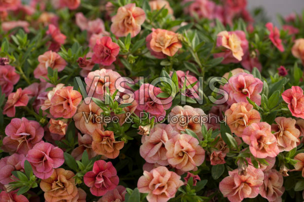 Calibrachoa Can-Can® Rosies Apricot