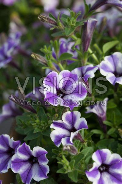 Petunia Vivini™ Blue Star