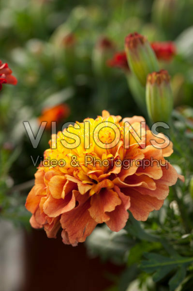 Tagetes patula nana Bonanza Strawberry Blonde