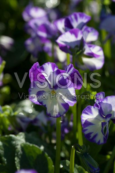 Viola pubescens Rebecca Cawthorne