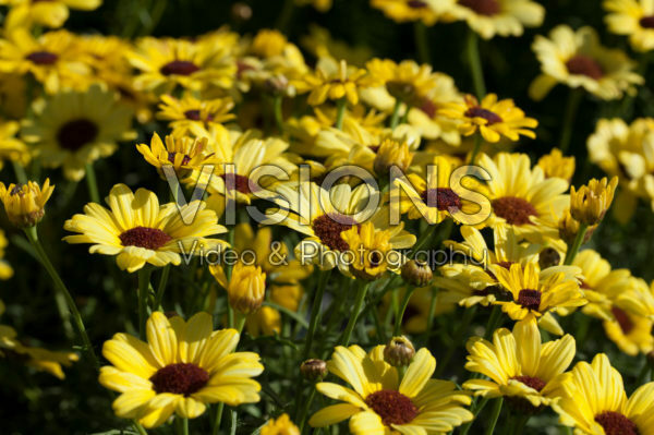 Argyranthemum Grandaisy® Bright Yellow